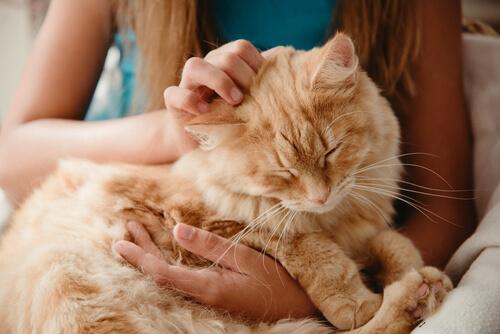 Un gato mayor siendo cuidado.
