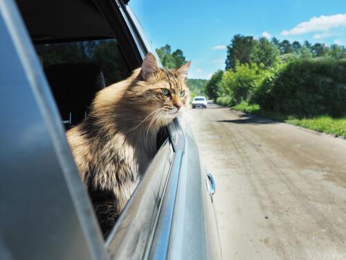 Gato viajando en coche asoma la cabeza
