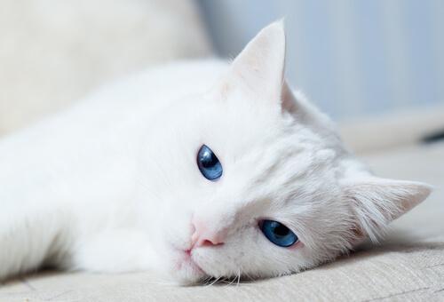 ¿Por qué algunos gatos blancos son sordos?