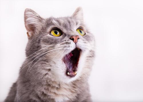 Razones por las que los gatos maúllan continuamente