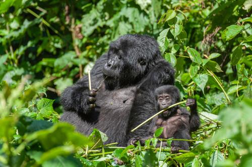 Gorila comiendo con su cría