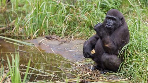 ¿Por qué los gorilas lavan la fruta?