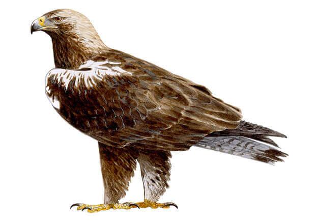 Ilustración del águila imperial ibérica