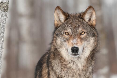 El lobo forma parte del origen del perro