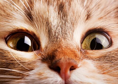 ¿Qué ocasiona la respiración acelerada en gatos?