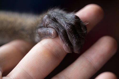 Mono agarrándose al dedo