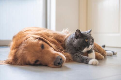 enfermedades de felinos silvestres
