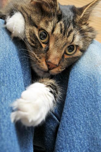 Pérdida de cabello en gatos