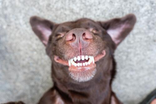 El cuidado dental en perros mayores es esencial.
