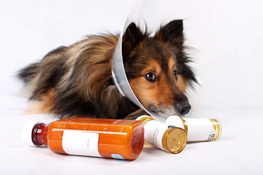 Perro con collarín y medicamentos veterinarios