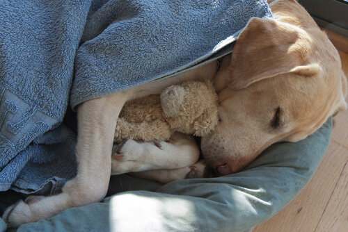 Perro duerme con peluche