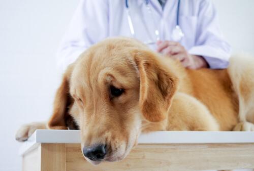 Perro enfermo en el veterinario