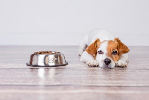 Perro con plato de pienso