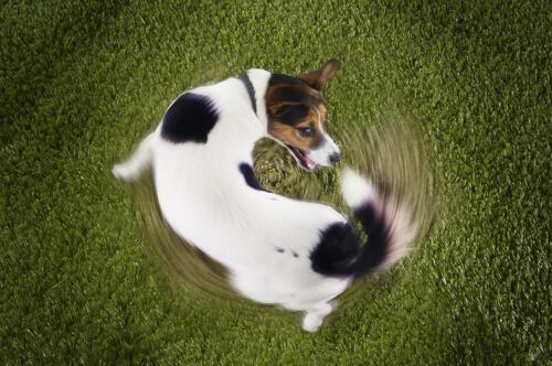 Perros persiguen su cola