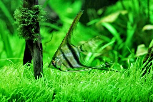 Las hojas de almendro indio para acuarios
