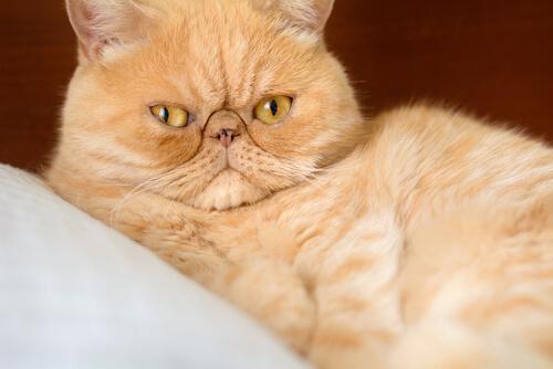 Respiración acelerada en gatos