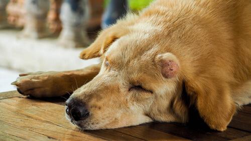 bulto en el ano de un perro
