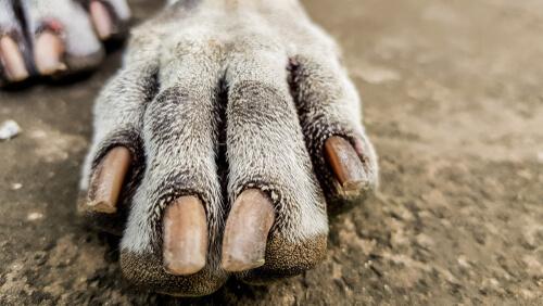 enfermedades en las uñas de los perros