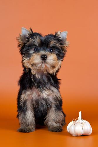 Beneficios de los suplementos de ajo para perros