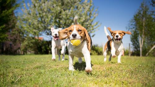 Beagles jugando en el parque