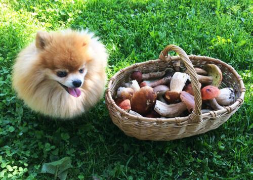 Cachorro con una cesta de hongos