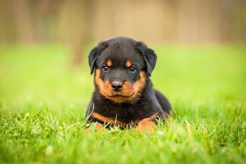 Cachorro de rottweiler