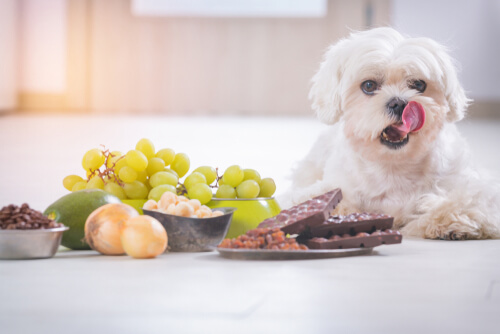 Comida tóxica para perros