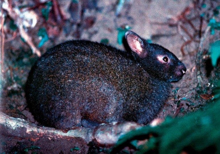 Biología y conservación del conejo de Amami