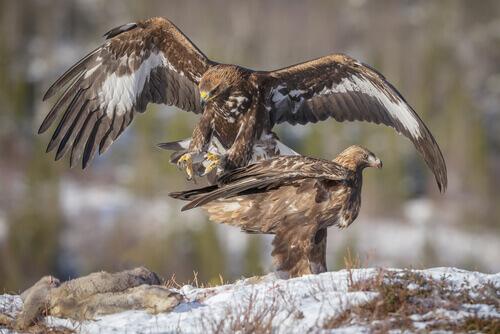 La conservación de las águilas españolas