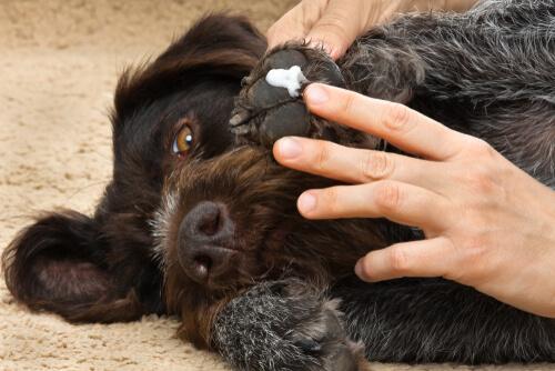 crème sur la jambe du chien