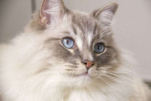 Entre los cuidados del gato ragdoll están sus orejas