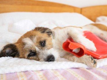 Dolor De Estómago En Perros Signos Y Síntomas Mis Animales