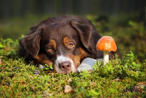 Envenenamiento por hongos en perros: ¿qué hacer?
