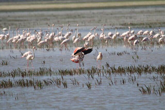 Dentro de la Red Natura 2000 puede haber flamencos como estos, en uno de los parques naturales de España como es Doñana.