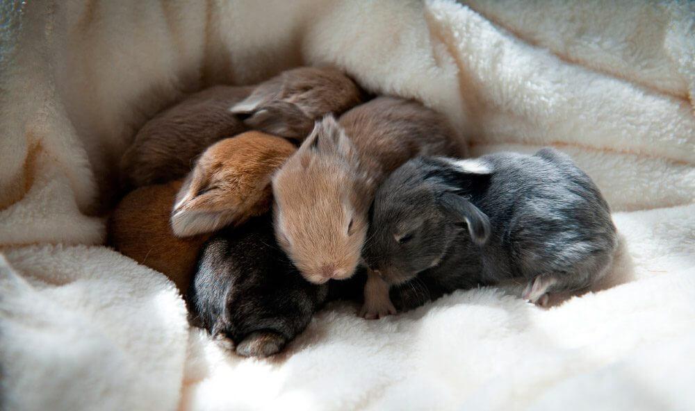 ¿Es el olfato importante para los conejos recién nacidos?