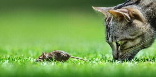 Gato acechando ratón