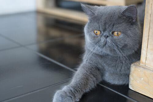 Gato persa tumbado en el suelo
