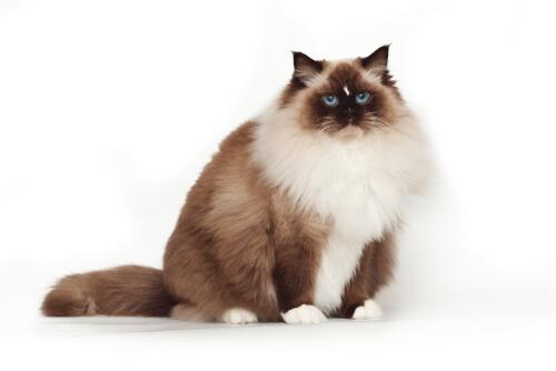 Gato ragdoll sentado