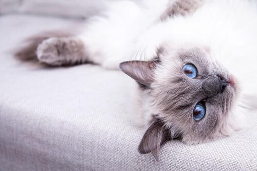 Cuidados del gato ragdoll: 6 recomendaciones