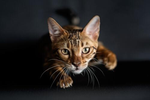 ¿Por qué los gatos tienen bigotes en sus patas delanteras?