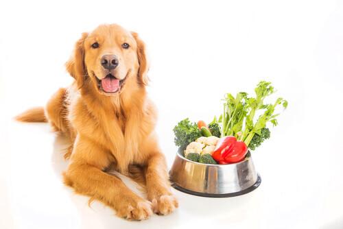 El golden retriever es uno de los perros que siempre tienen hambre