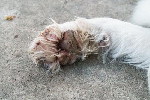 infecções por pata do cão