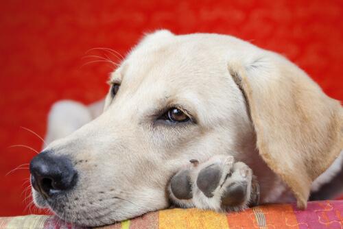 Causas del letargo en perros