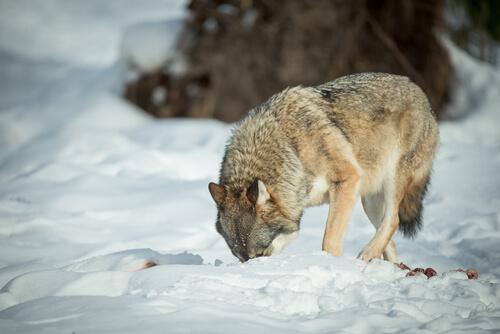 Lobo entierra comida
