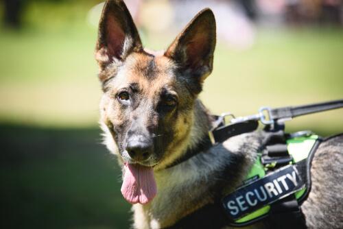 La vida de los perros policía: entrenamiento y jubilación
