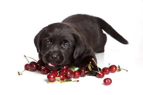 Las cerezas están entre los alimentos tóxicos para perros
