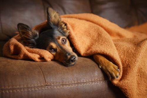 Perro enfermo en el sofá