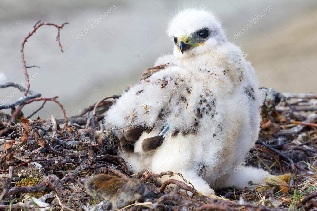 Pollo huérfano en el nido