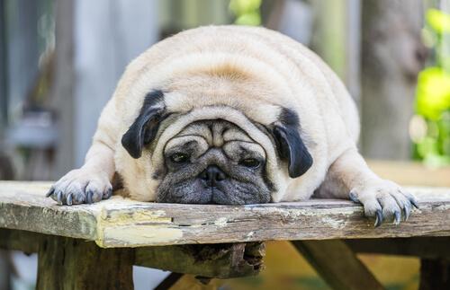 Pug con obesidad tumbado