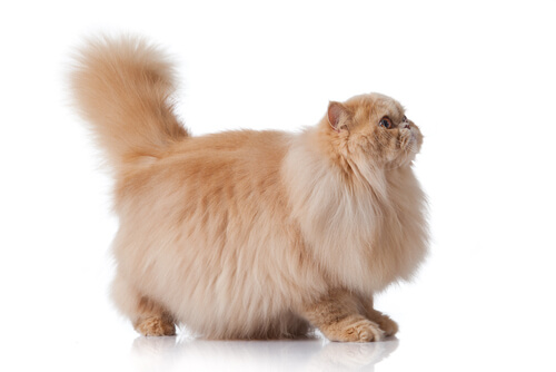Skin problems in Persian cats